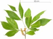 Allophylus psilospermus fruit plant