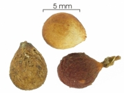 Allophylus psilospermus seed-dry