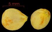 Allophylus psilospermus seed-wet