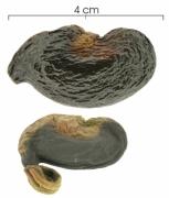 Anacardium excelsum aborted-fruit