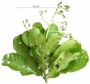 Anacardium excelsum flower-bud plant