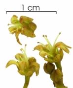 Anacardium excelsum flower