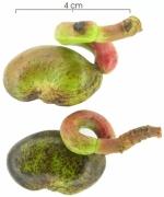 Anacardium excelsum fruit
