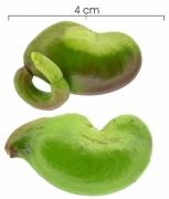 Anacardium excelsum immature-fruit