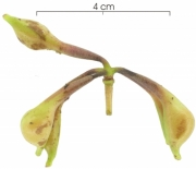 Anaxagorea panamensis immature-Infructescences