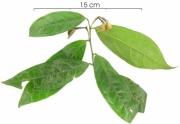 Anaxagorea panamensis immature-fruit plant
