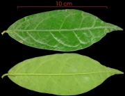 Anaxagorea panamensis leaf
