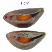 Anaxagorea panamensis seed-dry