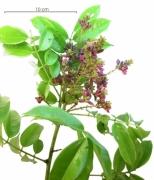 Andira inermis subsp inermis flower plant