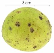 Andira inermis subsp inermis fruit