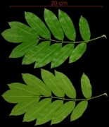 Andira inermis subsp inermis leaf