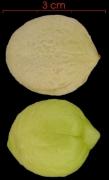 Andira inermis subsp inermis seed-wet