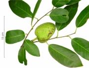 Annona glabra immature-fruit plant