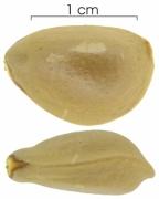Annona glabra seed-wet