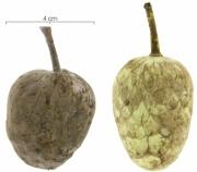 Annona hayesii fruit