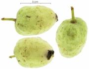 Annona hayesii immature-fruit