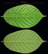 Annona hayesii leaf