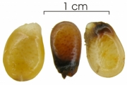 Annona hayesii seed-wet