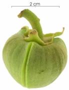 Annona spraguei flower-bud