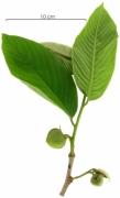 Annona spraguei flower-bud plant