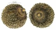 Annona spraguei immature-fruit