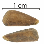 Annona spraguei seed-dry