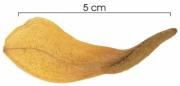 Anthodon panamense seed-dry