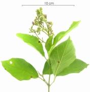 Arrabidaea patellifera flower-bud plant
