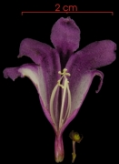Arrabidaea patellifera flower