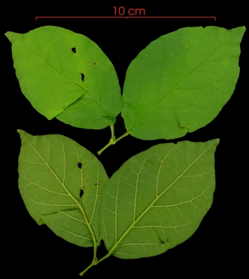 Arrabidaea patellifera leaf