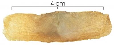 Arrabidaea verrucosa seed-dry