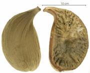 Aspidosperma spruceanum capsule