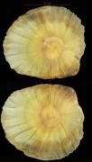 Aspidosperma spruceanum seed-dry