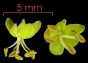 Astronium graveolens flower