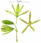 Astronium graveolens immature-fruit