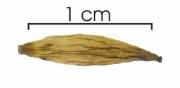 Astronium graveolens seed-dry