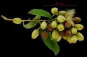 Bonamia trichantha Infructescences