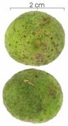 Brosimum alicastrum subsp bolivarense fruit