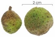 Brosimum alicastrum subsp bolivarense immature-fruit