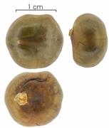 Brosimum alicastrum subsp bolivarense seed-wet