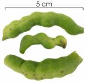 Capparis frondosa immature-fruit