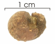 Capparis frondosa seed-dry