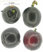 Casearia commersoniana fruit
