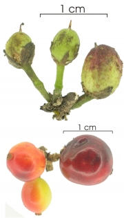 Casearia commersoniana immature-fruit