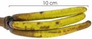 Cecropia insignis flower
