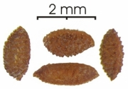 Cecropia insignis seed-dry