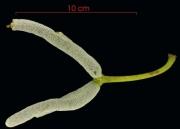 Cecropia obtusifolia fruit