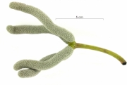 Cecropia obtusifolia immature-fruit