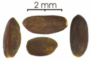 Cecropia obtusifolia seed-dry