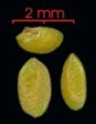 Cecropia obtusifolia seed-wet
